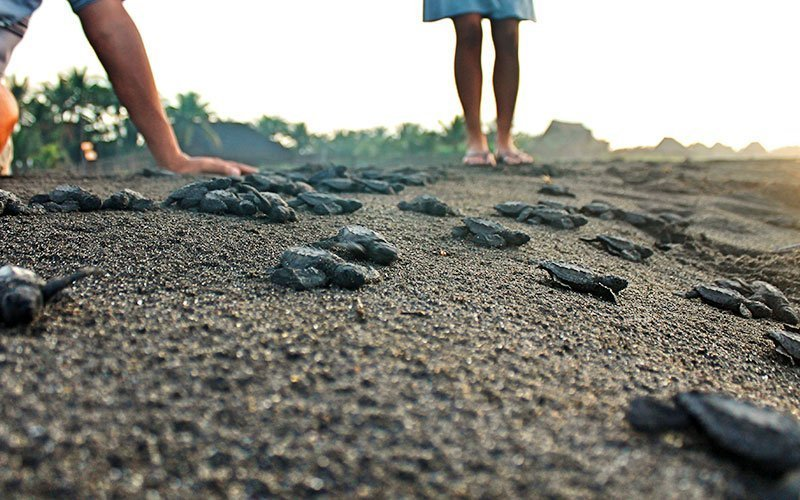 Volunteer in Sea Turtle Conservation in Guatemala